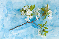 White cherry blossom on textile, close up - ASF005018
