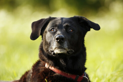 Germany, Baden-Wuerttemberg, black dog, mixed breed, portrait - SLF000232