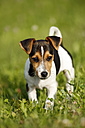 Germany, Baden-Wuerttemberg, Jack Russel Terrier puppy standing on meadow - SLF000237