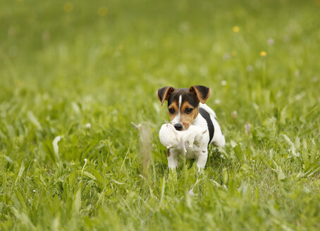 Germany, Baden-Wuerttemberg, Jack Russel Terrier puppy carrying soft toy - SLF000241