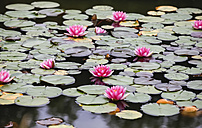 Germany, Saxony, Water lilies in pond - JTF000474