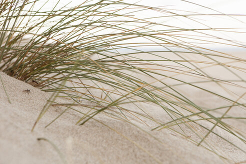 Spain, Marram grass, close up - SKF001404