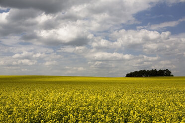 Germany, Brandenburg, yellow rape field - CNF000015