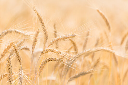 Germany, Close up of barley ears in field - EJWF000240