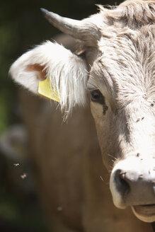 Austria, Milking cow, close up - FLF000338