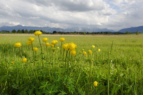 Germany, View of Trollius Europaeus flowers at Staffelsee - LB000236