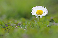 Germany, Bavaria, Daisy flower, close up - RUEF001085