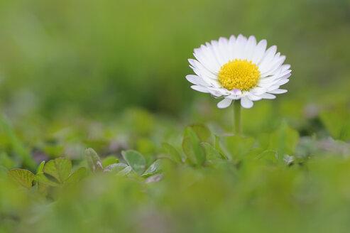 Germany, Bavaria, Daisy flower, close up - RUEF001085