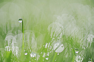 Germany, Bavaria, Dew on grass, close up - RUEF001097