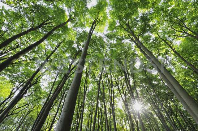 Germany, Mecklenburg Western Pomerania, Beech trees in forest - RUEF001100