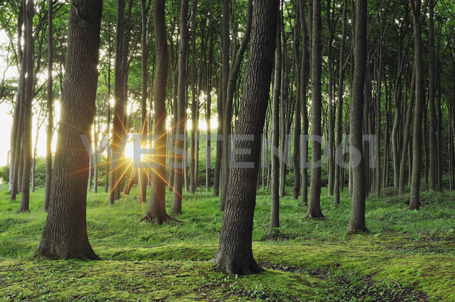 Germany, Mecklenburg Western Pomerania, Beech trees in forest - RUEF001103