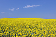 Germany, Mecklenburg Vorpommern, View of yellow rape field, close up - RUEF001107