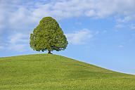 Switzerland, Lime tree in meadow - RUEF001140