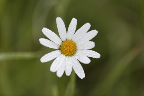 Austria, Meadow Daisy, close up - GFF000228