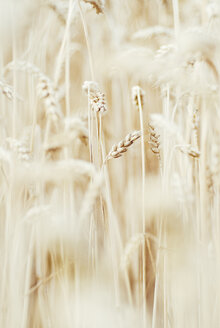 Germany, Baden Wuerttemberg, Wheat field, close up - CZF000008
