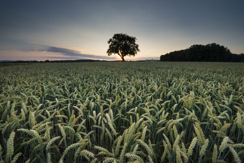 Germany, Baden Wuerttemberg, View of wheat field at sunset - ELF000360