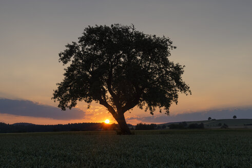 Germany, Baden Wuerttemberg, View of old tree at sunset - ELF000358