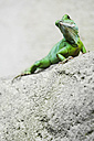 Indonesia, Green Lizard on rock - KRP000021
