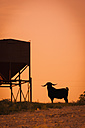USA, Texas, Long horned goat standing next to feeder - ABAF000985