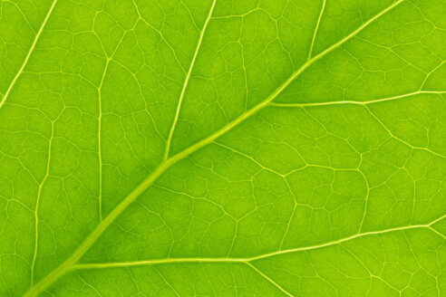Germany, Leaf veins, close up - CPF000015