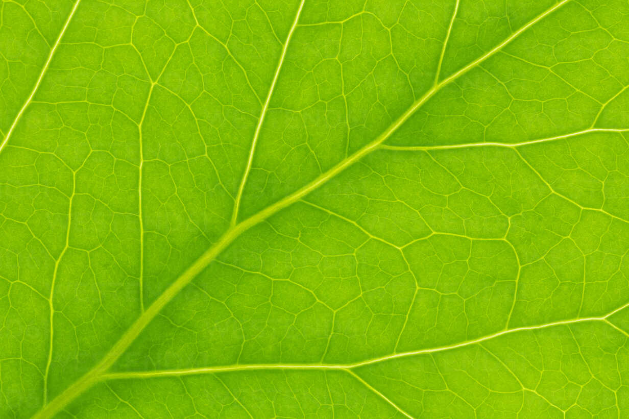Germany, Leaf veins, close up - CPF000015 - Christoph Prall/Westend61