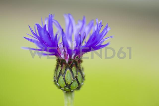 Germany, Cornflower, close up - CPF000023
