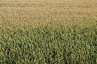 Northern Germany, View of cornfield - CMF000003