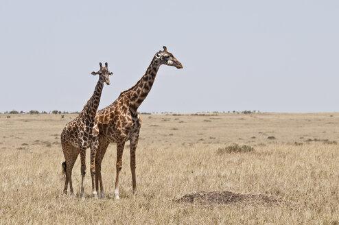 Kenya, Masai giraffes at Maasai Mara National Reserve - CB000130