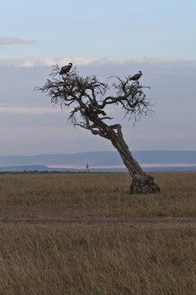 Africa, Kenya, Vultures perching on dead tree at Maasai Mara National Reserve - CB000174