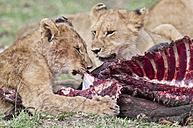 Africa, Kenya, Lions eating common tsessebe at Maasai Mara National Reserve - CB000172