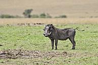 Africa, Kenya, Common warthogs at Maasai Mara National Reserve - CB000169