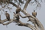 Africa, Kenya, Vultures perching on tree at Maasai Mara National Reserve - CB000160