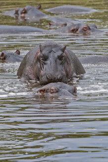 Africa, Kenya, Hippopotamuses mating in water at Maasai Mara National Reserve - CB000159