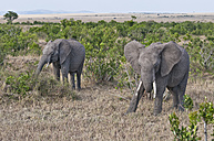 Africa, Kenya, African elephants eating grass at Maasai Mara National Reserve - CB000154