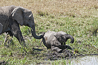 Africa, Kenya, African elephant with young animal at Maasai Mara National Reserve - CB000148
