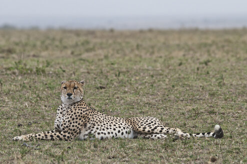 Africa, Kenya, Cheetah relaxing on grass at Maasai Mara National Reserve - CB000144