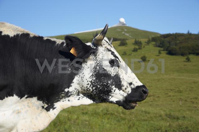 France, Cow near Grand ballon - DHL000023 - Heinz Linke/Westend61