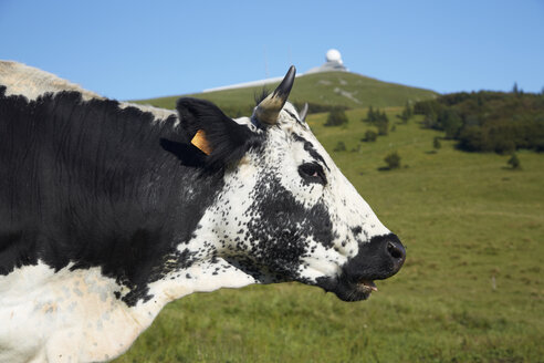 France, Cow near Grand ballon - DHL000023