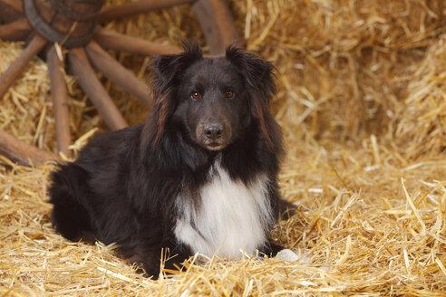 Black-and-white Shetland Sheepdog lying at hay - HTF000018