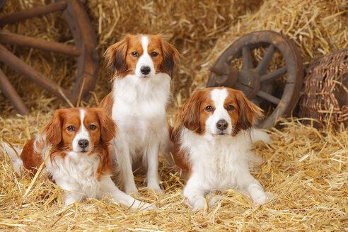 Three Nederlandse Kooikerhondjes at hay - HTF000037