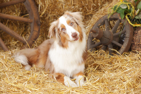Australian Shepherd lying at hay - HTF000045