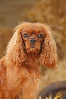 Portrait of Cavalier King Charles spaniel - HTF000057