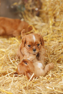 Two Cavalier King Charles spaniel puppies playing at hay - HTF000063