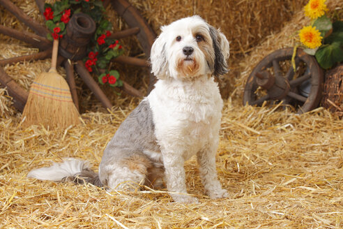 Tibetan Terrier sitting at hay - HTF000115