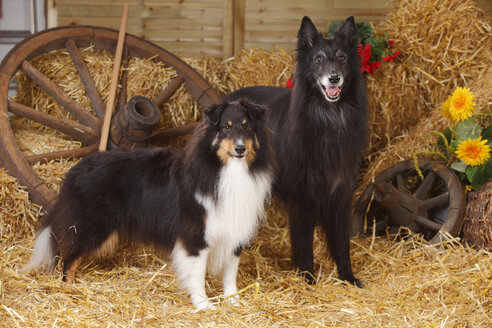 Sheltie, Shetland Sheepdog and Groenendael, Belgian Shepherd Dog standing at hay - HTF000078