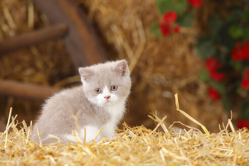 British Shorthair, kitten sitting at hay - HTF000123