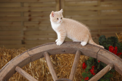 British Shorthair, kitten standing on an old cart wheel - HTF000124