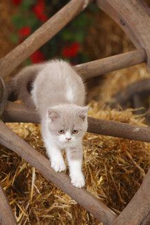 British Shorthair, kitten climbing on cart wheel - HTF000125