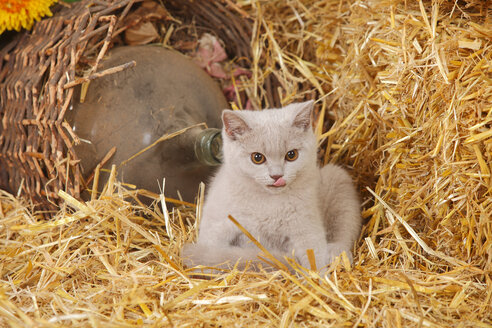 British Shorthair, kitten at hay with outstretched tongue - HTF000126