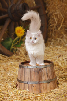 British Longhair, lilac-white kitten standing on tub - HTF000098